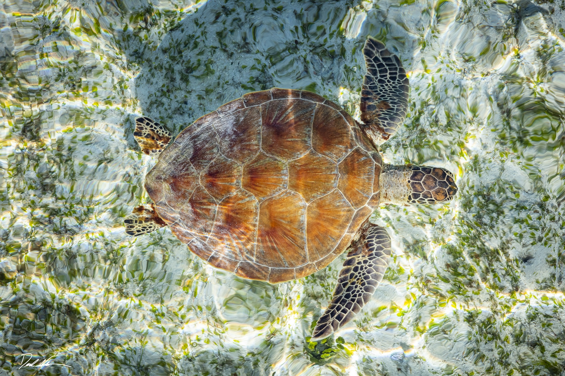 sea turtle in borneo